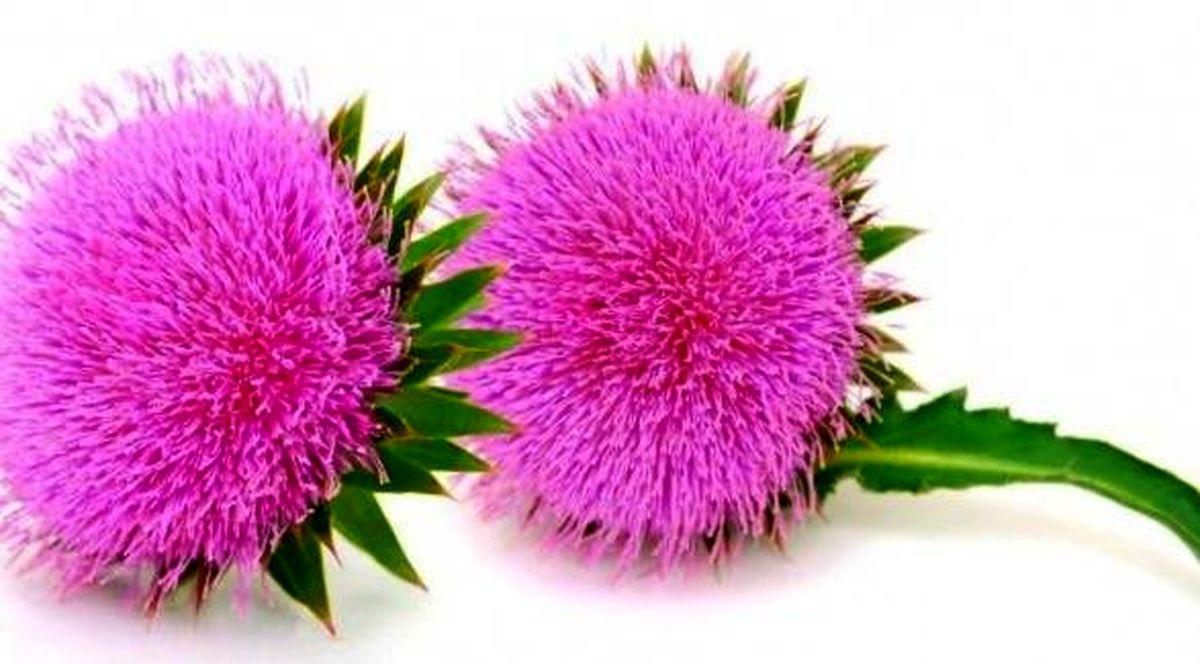 تاثیر شگفت انگیز این گیاه خاردار در سلامت کبد