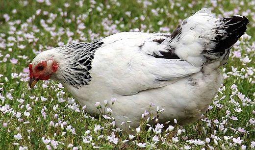 کمبود گوشت مرغ در کرمان نداریم