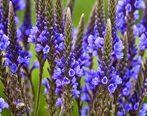 با این گیاه جادوگر زخم های بدنتان را سریعتر از بین ببرید
