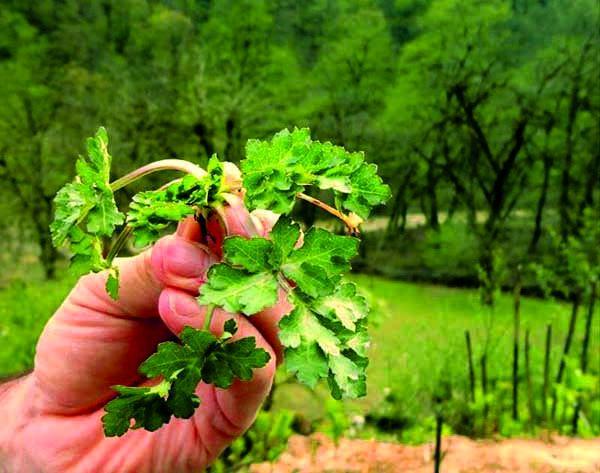 این گیاه در درمان بیماری با اسفناج رقابت می کند