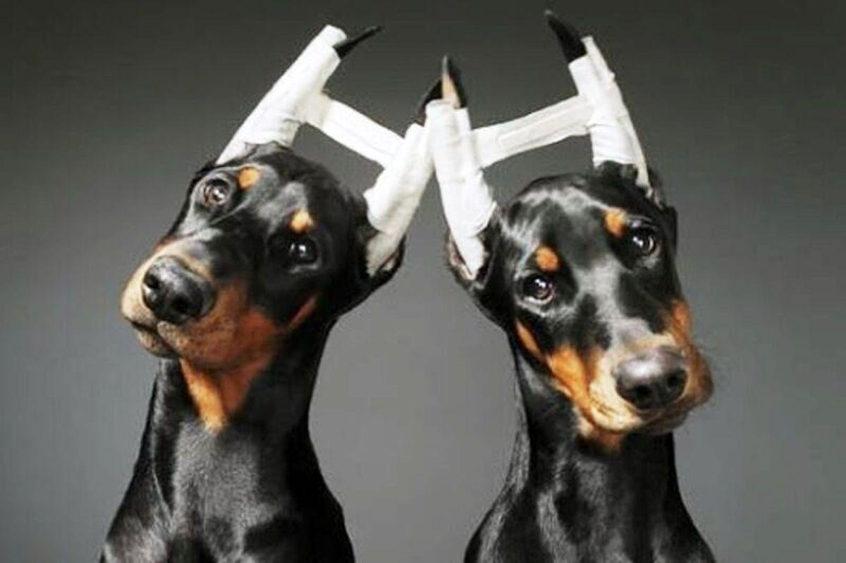 پدیده عجیب جراحی زیبایی حیوانات + جزئیات