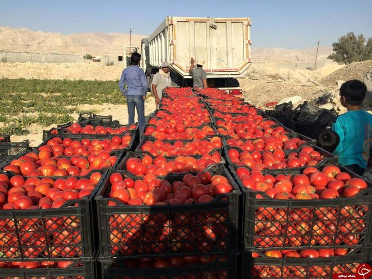 علت گرانی گوجه فرنگی مشخص شد