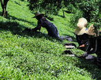 تولید ۲۸ هزار تن چای ایرانی تولید