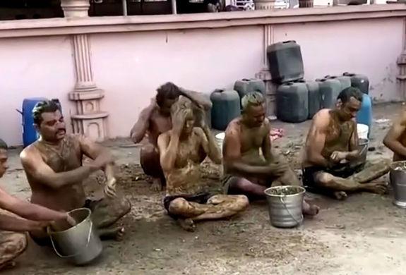 هندی ها کرونا را با مدفوع گاو شکست می دهند!