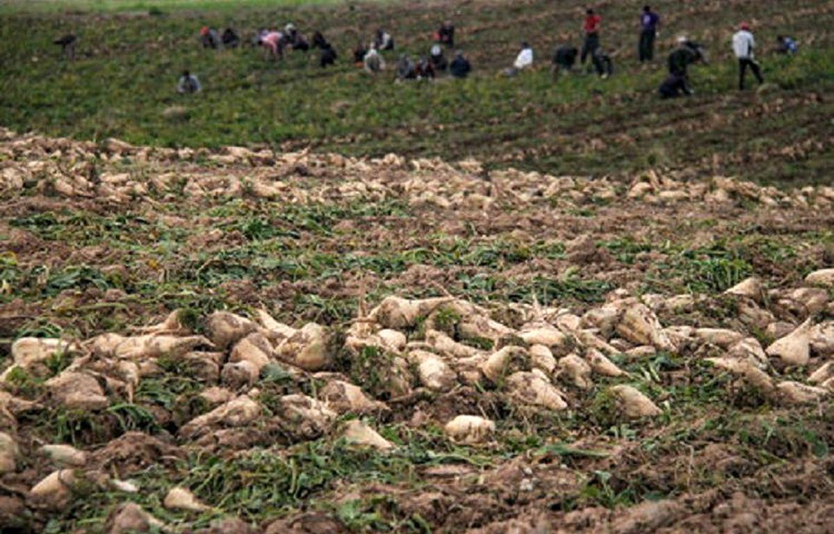 کشت چغندر علوفه ای با بذر اصلاح شده برای اولین بار در منطقه آزاد ماکو