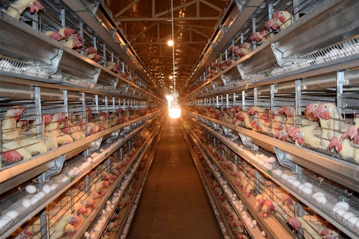 حمایت ۲ هزار میلیاردی بانک کشاورزی از بزرگترین پروژه مرغ تخمگذار دنیا