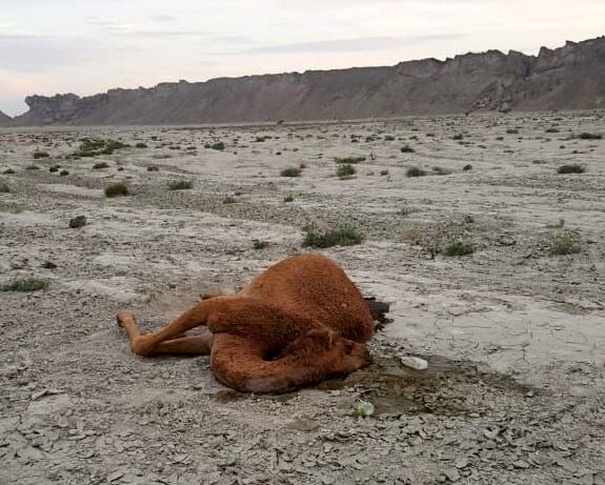 علت مرگ شترهای جاسک هرمزگان + جزئیات