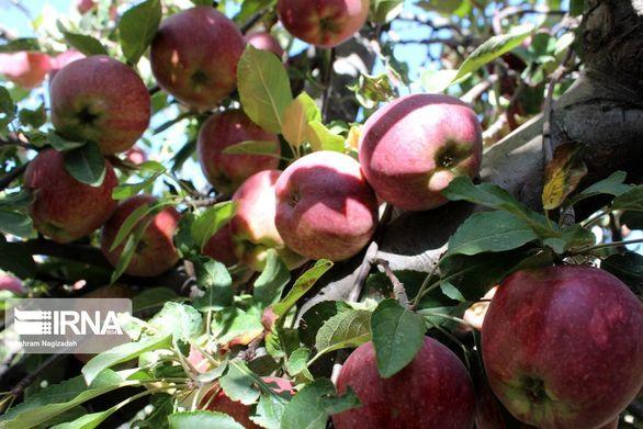 مجوز واردات آناناس و انبه در برابر صادرات سیب درختی ابلاغ شد