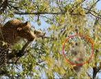ویدئوی شگفت انگیز تلاش یک پلنگ برای شکار میمون روی درخت