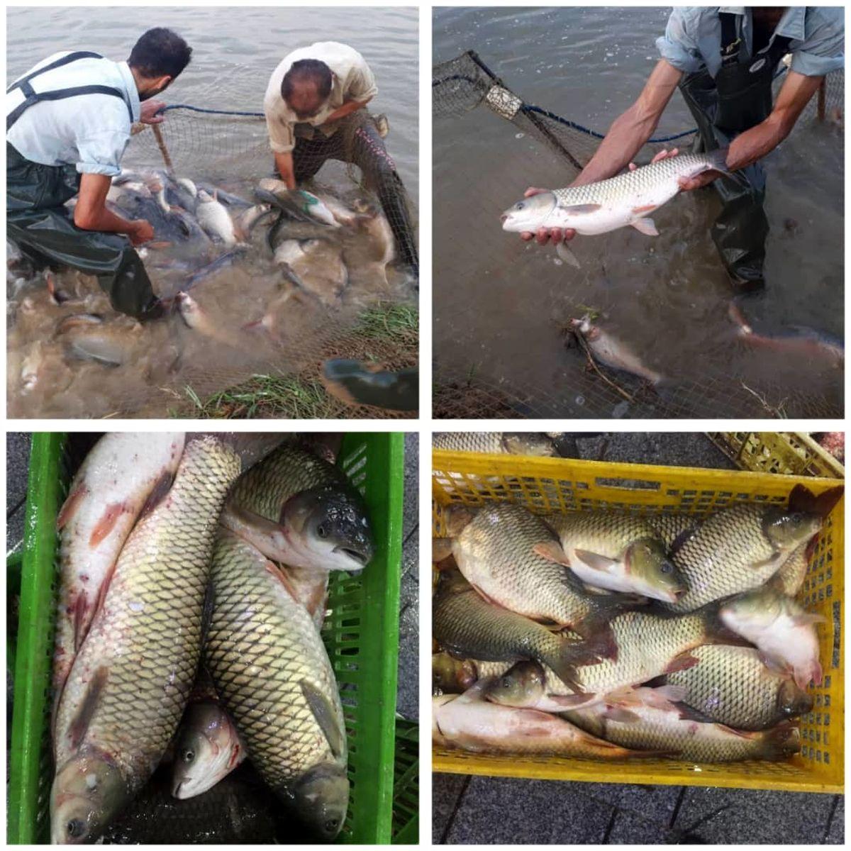 اولین مرحله صید ماهی در شرکت تابعه پگاه