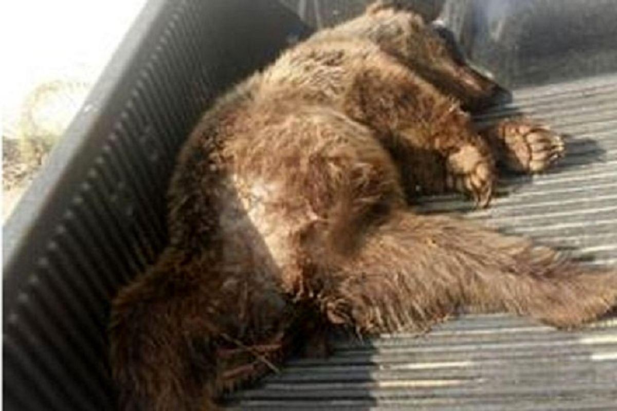 بازداشت عوامل شکار یک خرس قهوهای