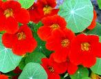 با خواص دارویی گل لادن آشنا شوید