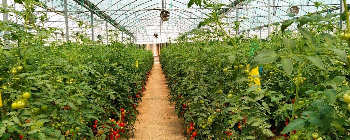 افزایش بازدهی در کشت صیفیجات با محصول نانو ساخت ایران در منطقه آزاد ماکو