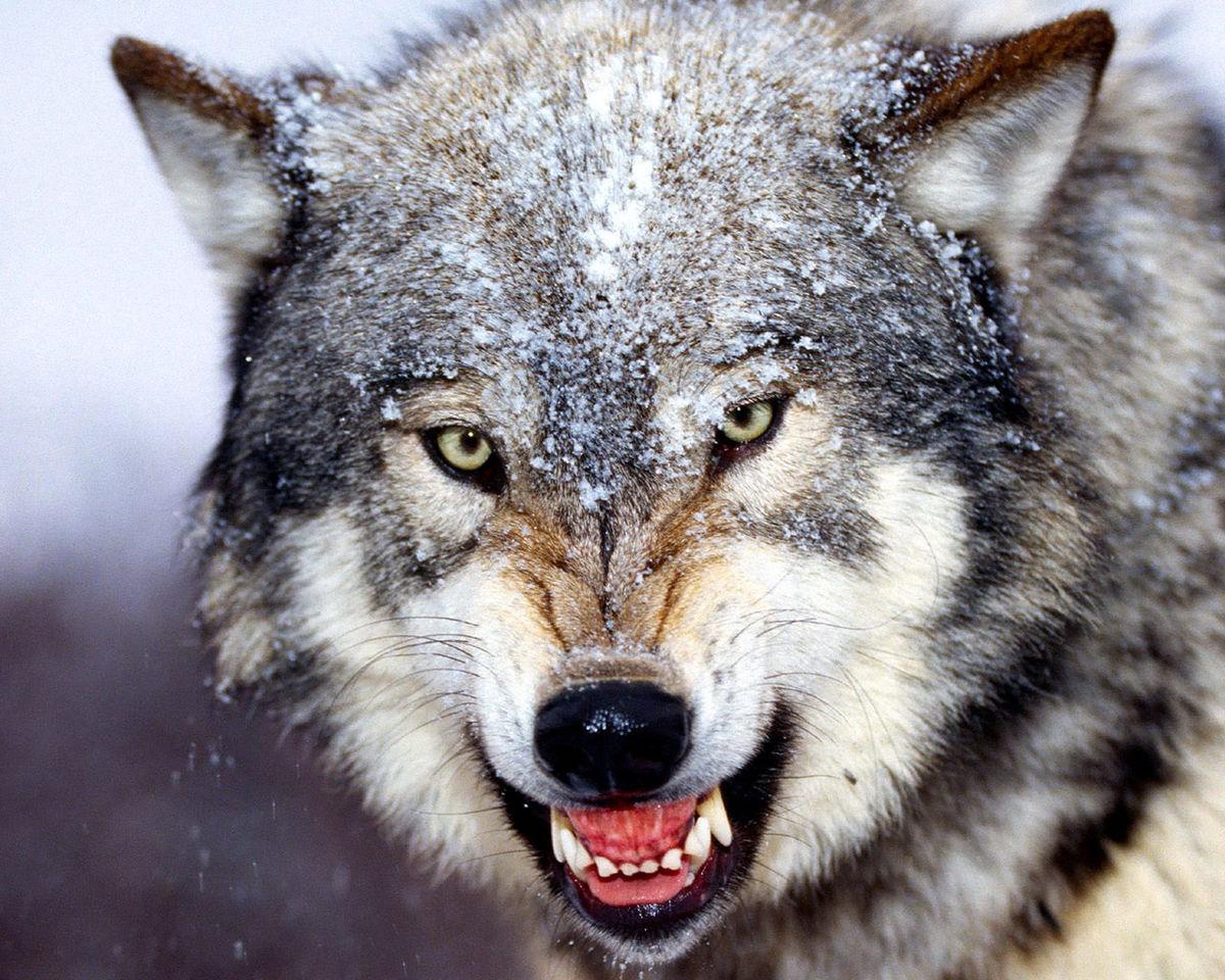 گرگها مرد کوهرنگی را خوردند | عکس