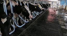 حمایت ۳۰۰ میلیاردی بانک کشاورزی از راه اندازی گاوداری شیری ۲۰۰۰ راسی در استان لرستان