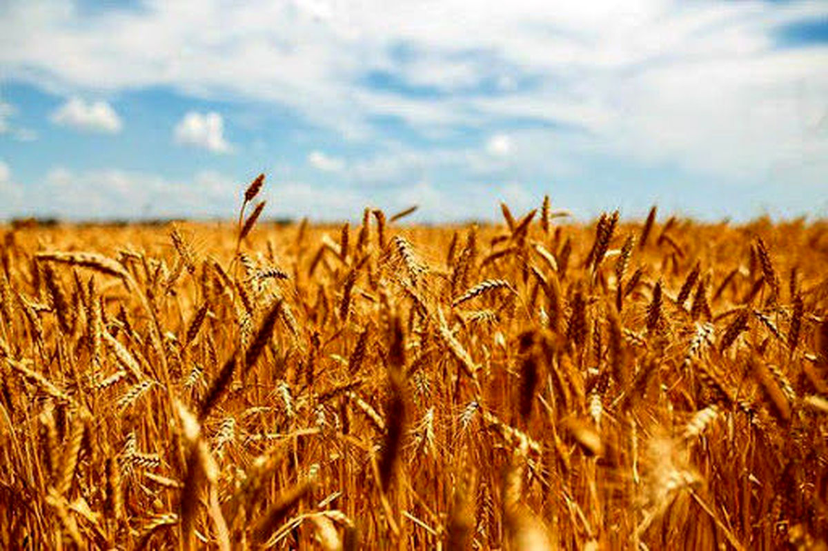 نرخ خرید گندم اعلام شد