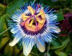 یبوستمان را با گل ساعتی درمان کنیم ؟